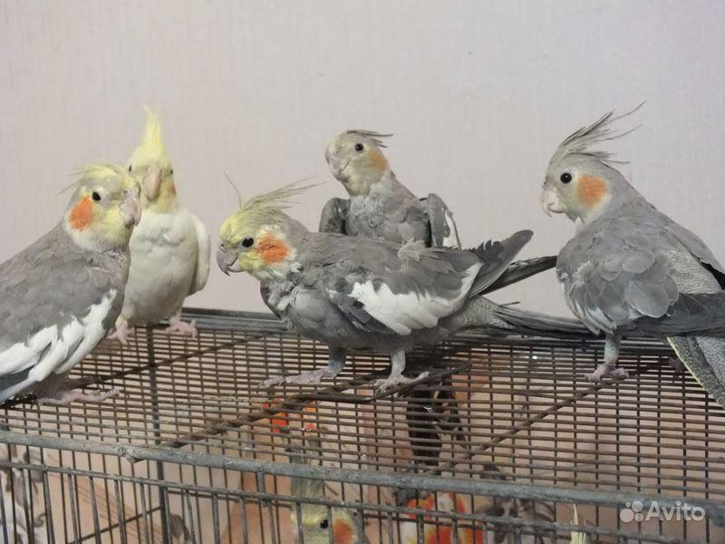 купить попугая корелла в белгороде