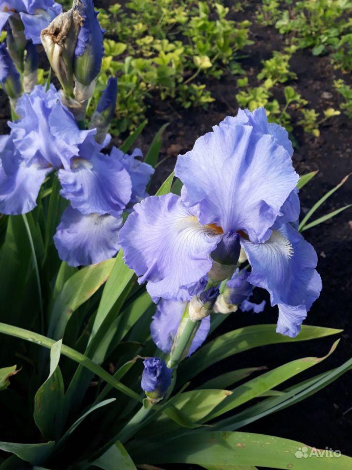 Цветы из собственного сада купить на Зозу.ру - фотография № 9