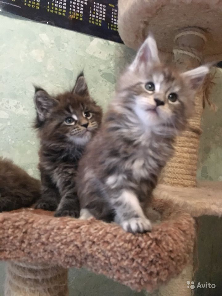 Самые лучшие. Крупные котята Мейн кун в Люберцах - фотография № 5