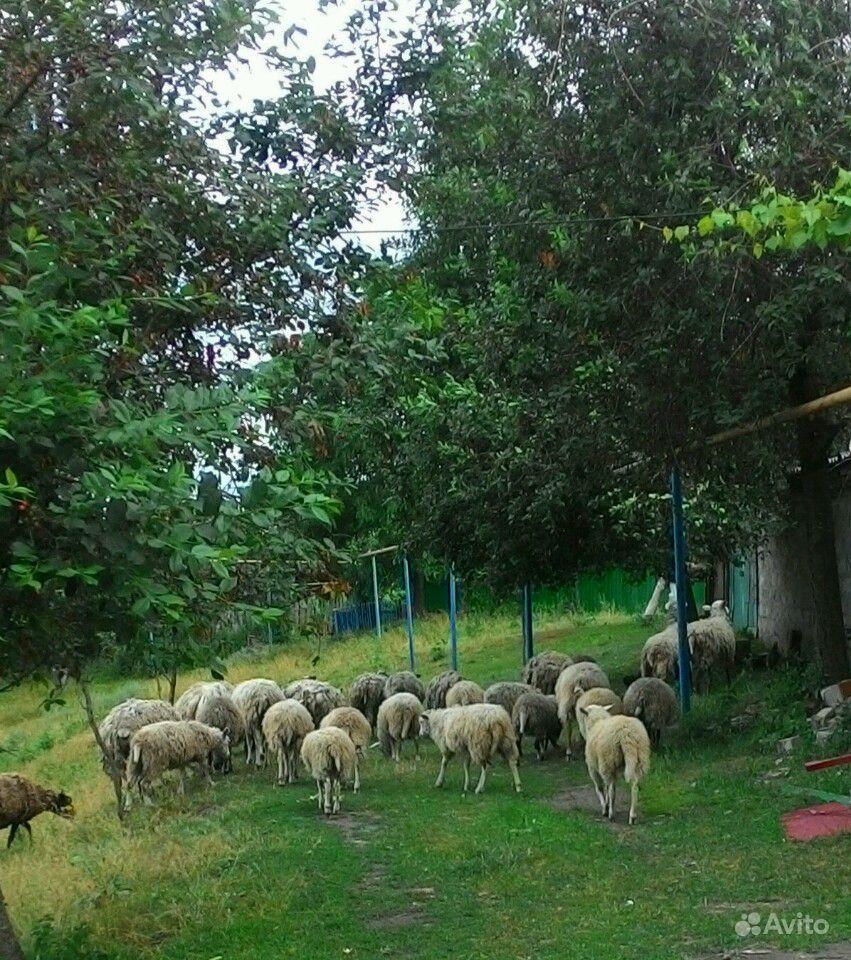 Овцы в Курчатове - фотография № 3