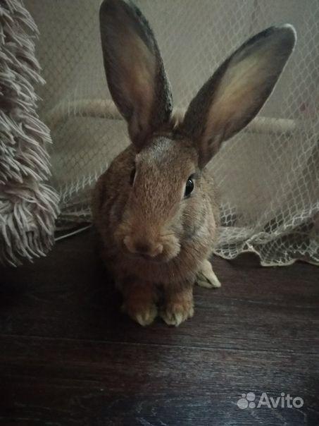 Кролик ручной,домашний