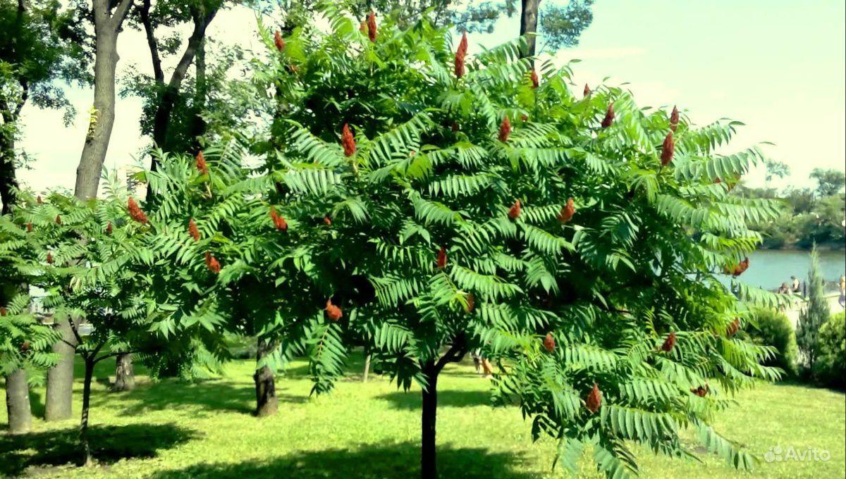 Сумах или уксусное дерево купить на Зозу.ру - фотография № 1