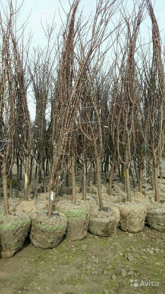 Саженцы фруктовых деревья, саженцы ивы пла кучей купить на Зозу.ру - фотография № 1