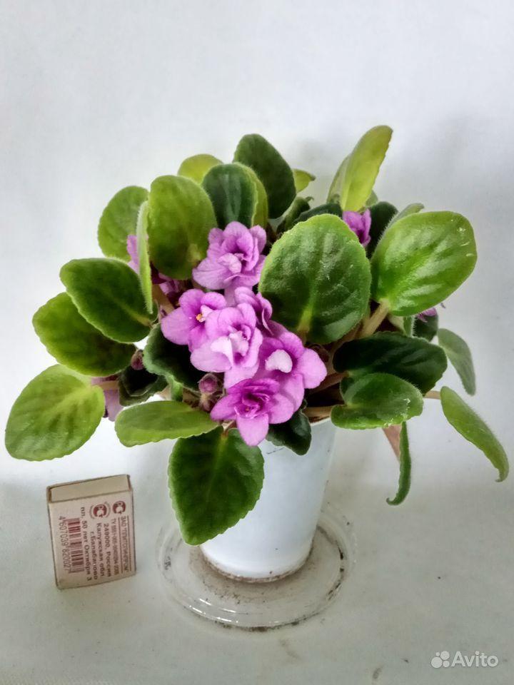 Комнатные растения - кливия и другие растения купить на Зозу.ру - фотография № 10