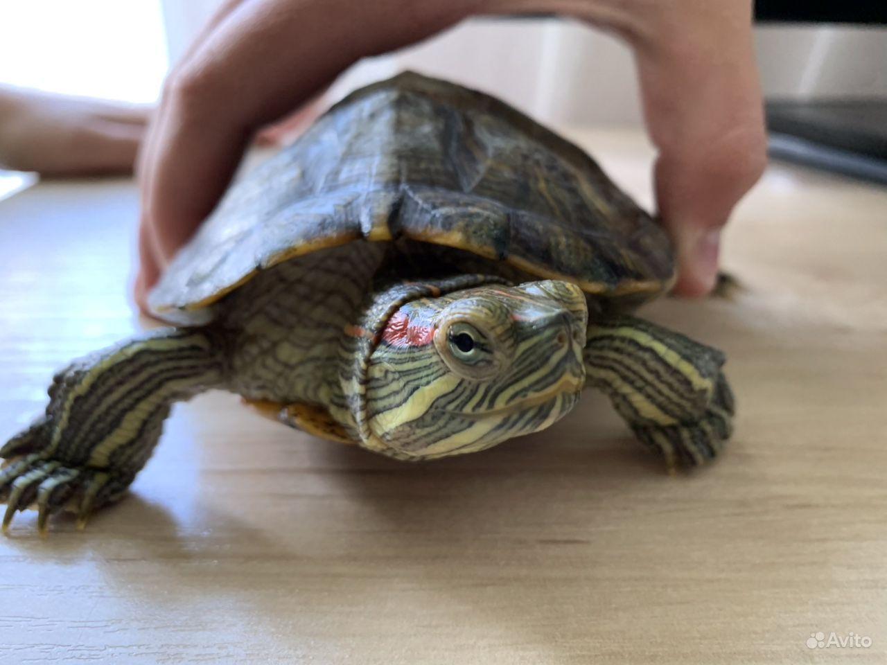 Красноухая черепаха купить на Зозу.ру - фотография № 1