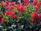 Клубни многолетних цветов канн