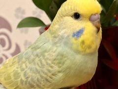 Продам выставочных волнистых попугаев