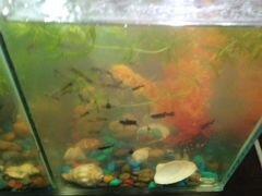 Рыба,гуппи,малинезии