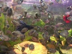 Аквариумные рыбки северум