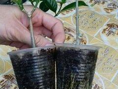 Табернемонтана махровая