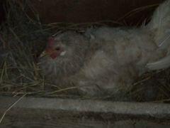 Квочка с цыплятами вывод 14.06.2020