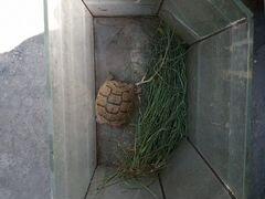Черепаха сухопутная маленькая