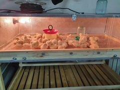 Цыплята бролер Росс 308