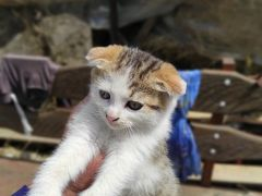 Трех цветный вислоухий кот