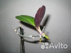 Купить цитокининовая паста для орхидей
