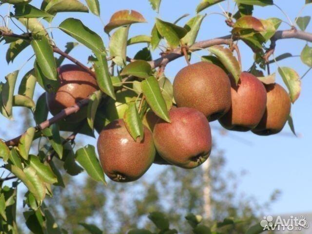 деревья самарской области фото с названиями
