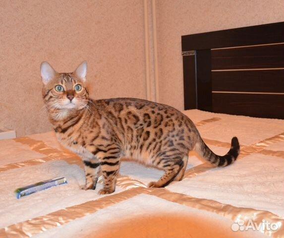 Вязка котов в ярославле