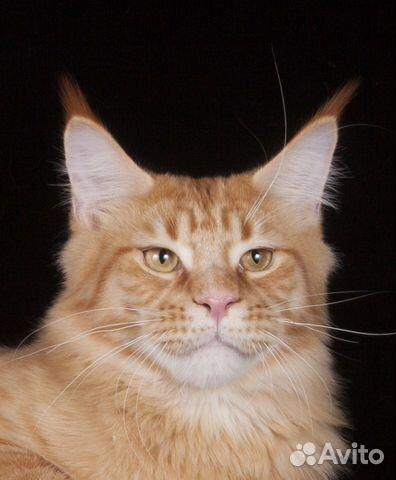 Коты мейн куна для вязки москва