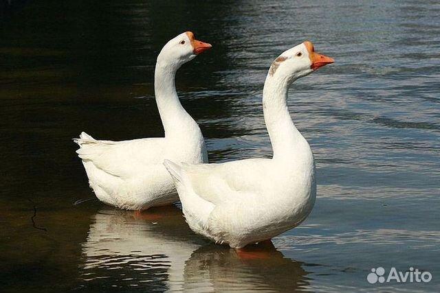 Куплю тушки гусей в москве