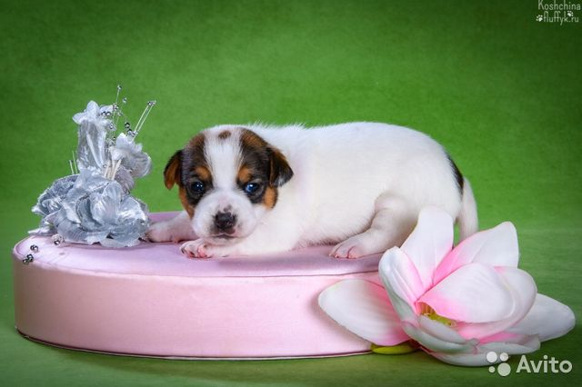 Джек Рассел терьера щенки купить на Зозу.ру - фотография № 5