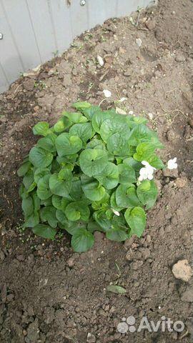 Ранние садовые многолетники 89806701171 купить 8