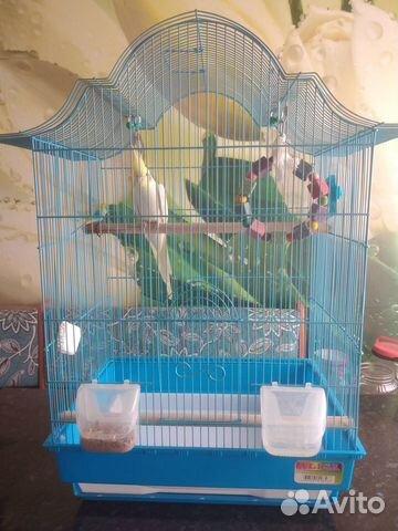Попугай корелла  89127945244 купить 5
