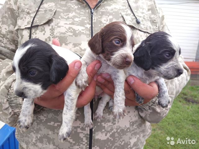 Продам щенков Русского охотничьего спаниеля  купить 3