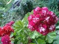 Герань (пеларгония) розенбуд
