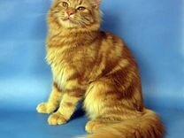 Рыжий мраморный котик сибиряк