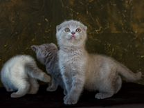 Шотландские котята с документами