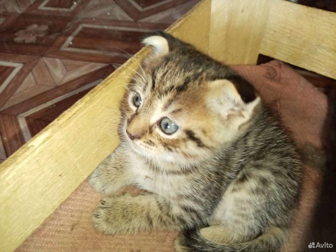 Кошка  89532797349 купить 1