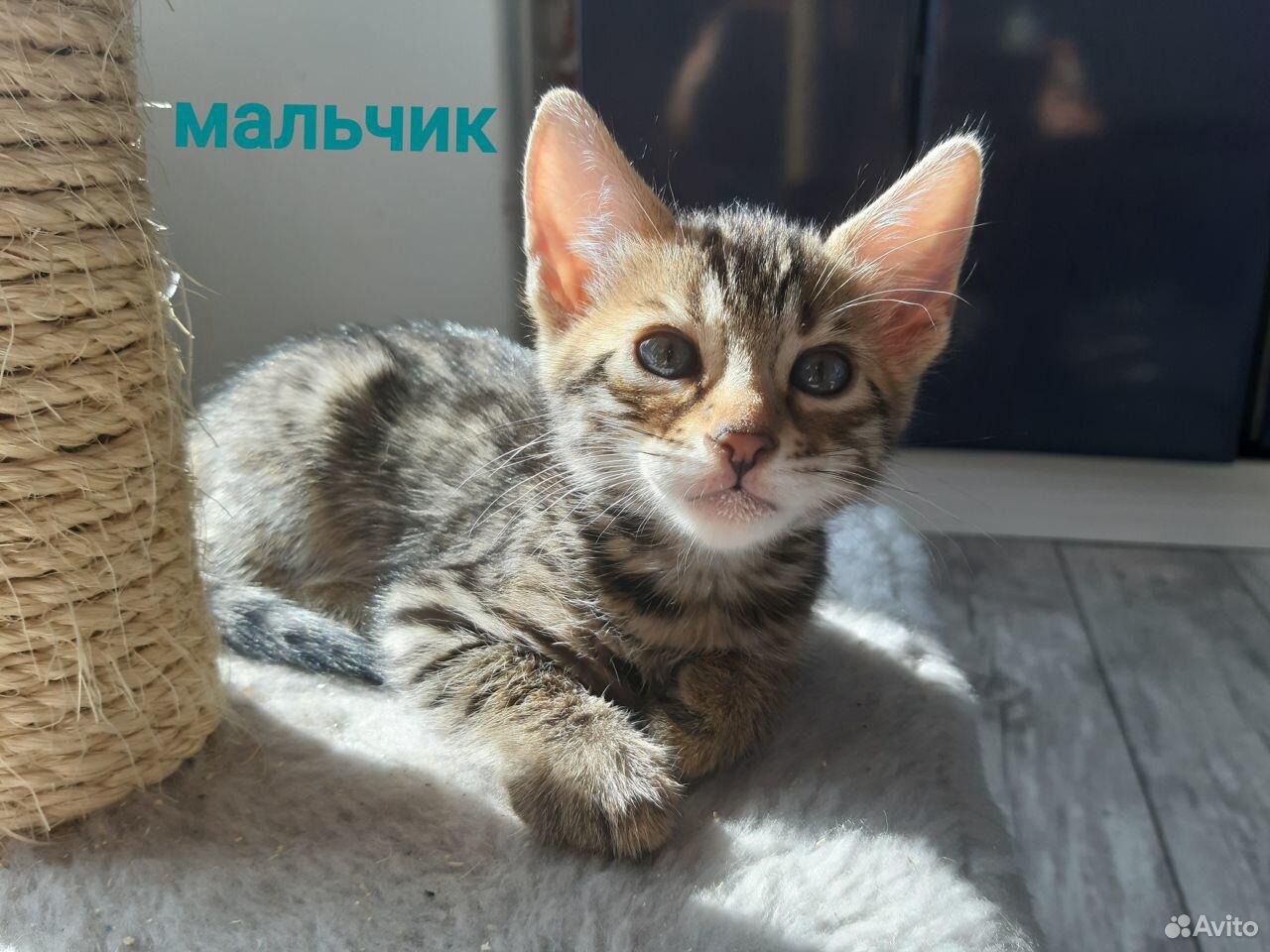 Бенгальские котята  89173097107 купить 9