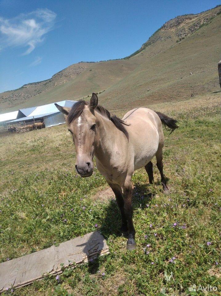 Лошадь  89894570223 купить 3