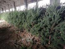 Сосна срезанная 1.0 - 1.5 метра оптом — Растения в Москве