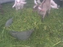 Продам Тёлочку, козла, коз, козлят