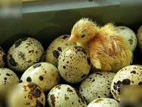 Инкубаторные яйца перепелиные