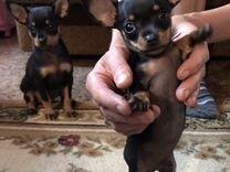 Тойчики — Собаки в Геленджике