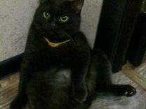 Вязка кот. Шоколадный британец