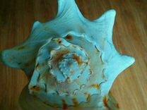 Ракушка морская раковина большая