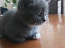 Славные, ласковые, домашние, дымчатые котята ждут