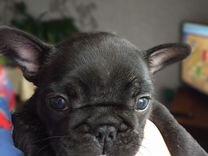Продам щенков. Французского бульдога