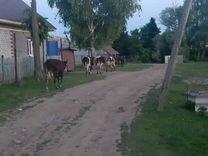 Коровы, телки