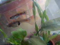 Рыбки гуппи и акв.растения