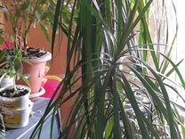 Драцена — Растения в Екатеринбурге