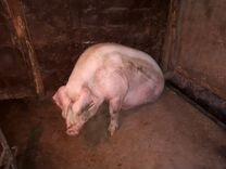 Свиноматка паросная